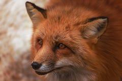 Pluizig leuk rood vosportret in de winter, zao, miyagi, Tohoku-Gebied, Japan royalty-vrije stock afbeeldingen