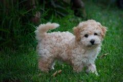 Pluizig oud Puppy 8 weken stock foto