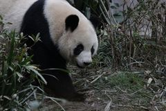 Pluizig Panda Bear in Chengdu, China royalty-vrije stock afbeelding