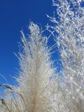 Pluizig Riet en blauwe hemel royalty-vrije stock foto