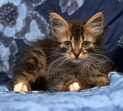 Pluizig Siberisch katje Stock Foto's