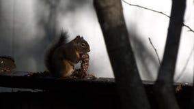 Pluizig weinig eekhoorn op een omheining stock videobeelden