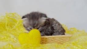 Pluizig weinig Schots katje in een mand stock video