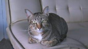 Pluizige Binnenlandse Cat Looking At Camera stock afbeeldingen