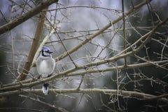 Pluizige Blauwe Vlaamse gaai op de tak van de Moerbeiboomboom op een winterse dag royalty-vrije stock foto's