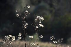 Pluizige bloem Royalty-vrije Stock Foto's