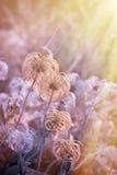 Pluizige bloem - Zachtheidsbloem royalty-vrije stock fotografie