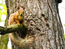 Pluizige bruine eekhoorn Stock Afbeeldingen