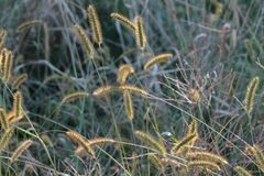 Pluizige cattails met het zonlicht die door glanzen Stock Afbeelding