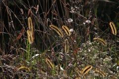 Pluizige cattails met het zonlicht die door glanzen Stock Foto's