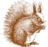 Pluizige eekhoorn Stock Afbeeldingen