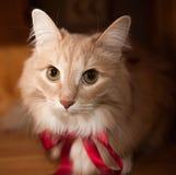Pluizige gemberkat met een rood lint Royalty-vrije Stock Afbeeldingen