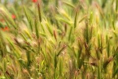 Pluizige grasachtergrond Stock Foto's