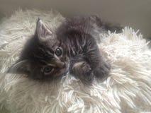 Pluizige Grey Kitten op Fuzzy Pillow Stock Afbeelding