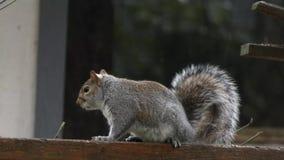 Pluizige grijze eekhoornlooppas langs omheining in de winter stock videobeelden