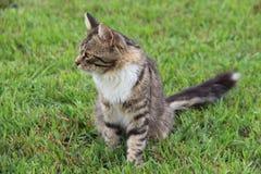 Pluizige grijze gestreepte kat in het gras stock foto