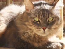 Pluizige grijze kat die in zon liggen Royalty-vrije Stock Foto's