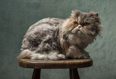 Pluizige kat Stock Fotografie