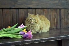Pluizige kat met tulpen Royalty-vrije Stock Foto's