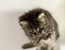Pluizige katje de jachtmuis Royalty-vrije Stock Afbeeldingen