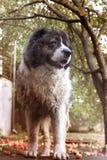 Pluizige Kaukasische herdershond in de werf Kaukasische herdershond binnen royalty-vrije stock foto