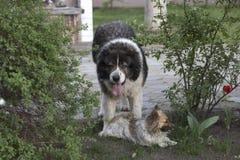 Pluizige Kaukasische herdershond in de werf Volwassen Kaukasische Herdershond stock afbeelding