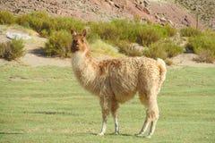 Pluizige lama royalty-vrije stock foto's