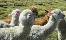 Pluizige lama's stock fotografie