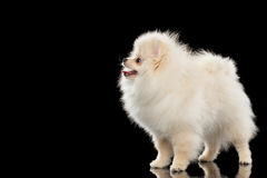 Pluizige Leuke Witte Pomeranian-Spitz Hond Status geïsoleerd op Zwarte Royalty-vrije Stock Foto's