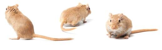 Pluizige muis Royalty-vrije Stock Afbeeldingen