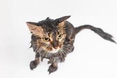 Pluizige natte kat in de badkamers Op een witte achtergrond stock foto's