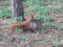 Pluizige rode eekhoorn die noten in het bos eten stock afbeelding