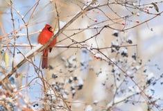 Pluizige rode kardinaal met open bekzitting op een mede de wintertak stock foto's