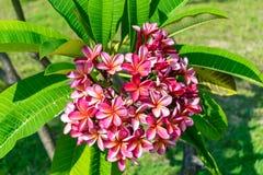Pluizige roze bloem met groen bladerenclose-up royalty-vrije stock foto