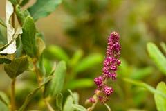 pluizige roze groep kegelvormige bloesems op struik royalty-vrije stock afbeelding