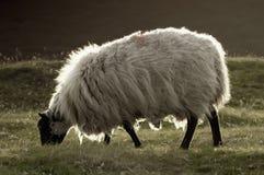 Pluizige schapen Royalty-vrije Stock Foto's