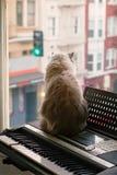 Pluizige Siamese Ragdoll-Mengeling Cat Looking uit het venster Royalty-vrije Stock Foto