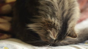 Pluizige Siberische kat die op het bed leggen en haar bont likken stock footage