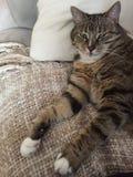 Pluizige snoezige mannelijke Gestreepte katkat | Groene ogen Royalty-vrije Stock Fotografie