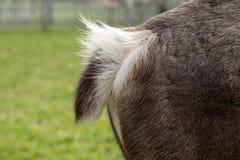 Pluizige staart van een hert, zijaanzicht van een achterdeel stock fotografie
