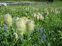 Pluizige wilde bloem Stock Afbeelding