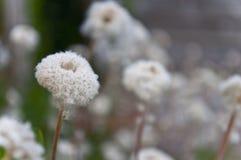 Pluizige witte bloem Royalty-vrije Stock Fotografie