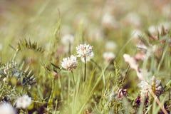 Pluizige witte bloemen van de klaver en de bladeren van duizendblad stock afbeelding