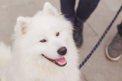 Pluizige witte Samoyed-hond met uitloging Royalty-vrije Stock Fotografie