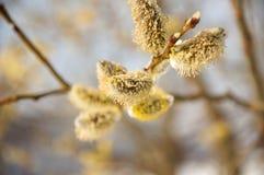 Pluizige zachte wilgenknoppen in de vroege lente Stock Fotografie