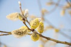 Pluizige zachte wilgenknoppen in de vroege lente Royalty-vrije Stock Afbeeldingen