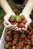 Pluk uw eigen aardbeien dichte omhooggaand van handen Stock Foto's