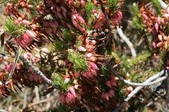 Plukenets heath, Erica Plukenetii Stock Photo