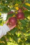 Plukken van de appel, de hand die van de jongen voor rode appelen bereikt Stock Afbeeldingen