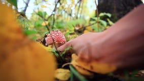 Plukt Amanietpaddestoel binnen in het bos met de hand stock video